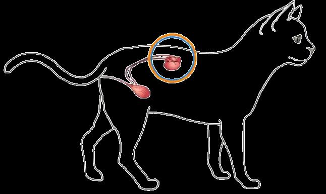 貓咪腎臟位置