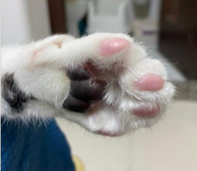 貓咪的汗腺分佈位置-貓手掌